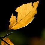 Podzimní bukové listy